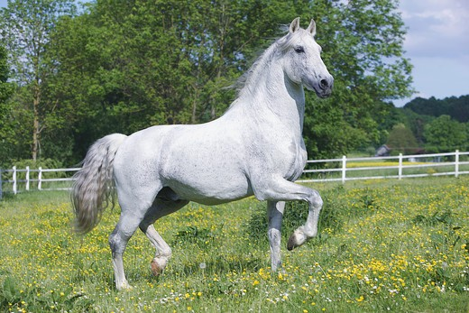 Andalusian horse - trotting on meadow : Stock Photo