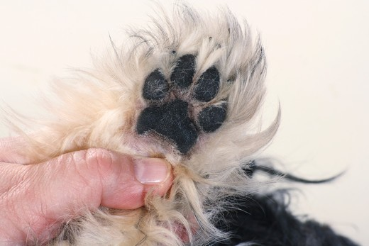 Havanese dog - paw : Stock Photo