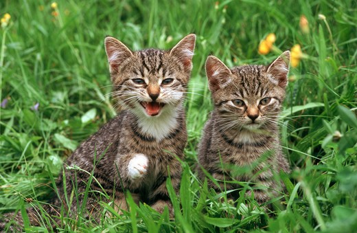 two domestic kitten : Stock Photo