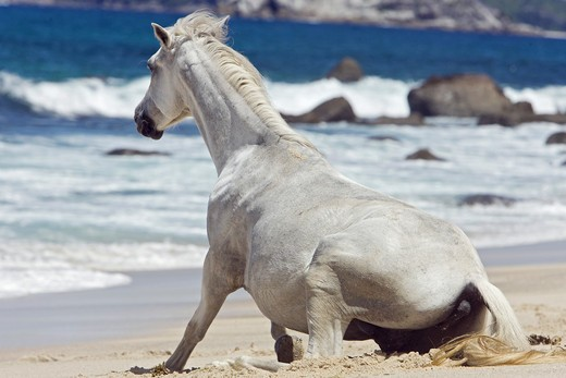 Stock Photo: 4279-29978 Pony horse - lying at the beach