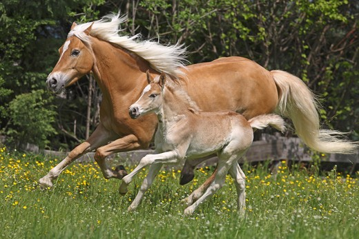 Haflinger horse and foal on meadow : Stock Photo