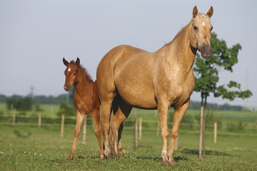 Quarter Horse and foal on meadow : Stock Photo