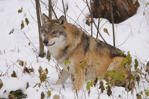 wolf - sitting in the snow : Stock Photo