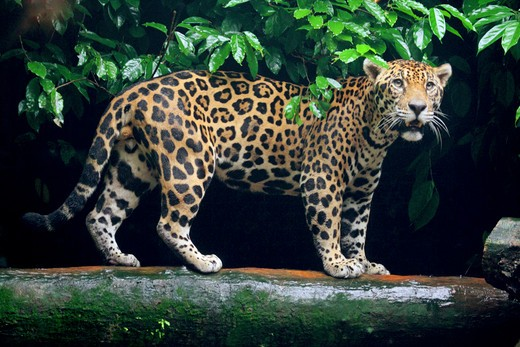 Stock Photo: 4279-30283 Jaguar - standing on tree trunk, Panthera onca