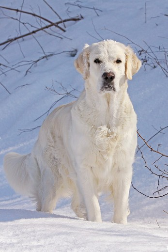 Stock Photo: 4279-30302 Golden Retriever dog - standing in snow
