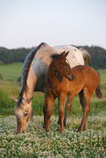 Appaloosa horse and foal on meadow : Stock Photo