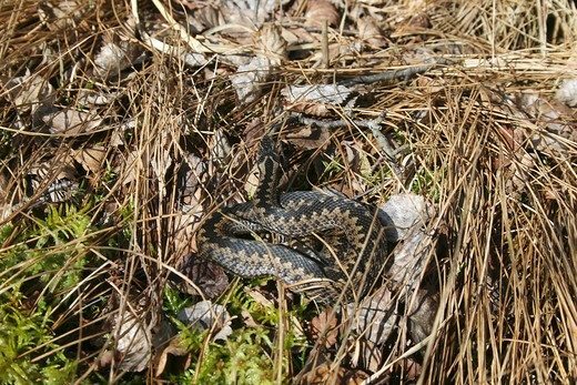 European adder in dry grass, Vipera berus : Stock Photo