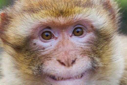 Stock Photo: 4279-30529 Barbary Macaque - portrait, Macaca sylvanus