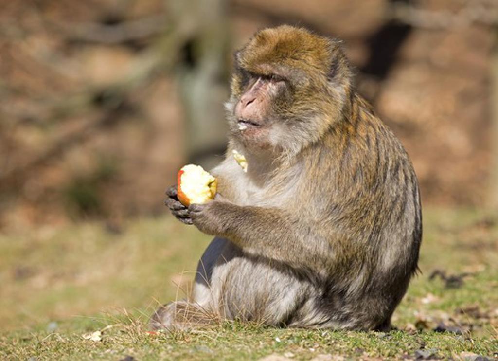 Stock Photo: 4279-30548 Barbary Macaque - munching an apple, Macaca sylvanus