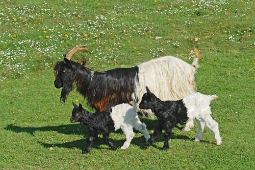 Stock Photo: 4279-30613 Valais Blackneck and two cubs