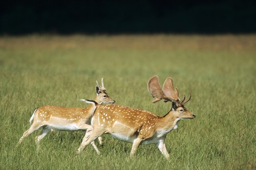Fallow Deer - two stags, Dama dama : Stock Photo