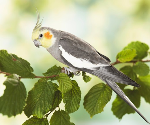 Stock Photo: 4279-30791 cockatiel on twig, Nymphicus hollandicus