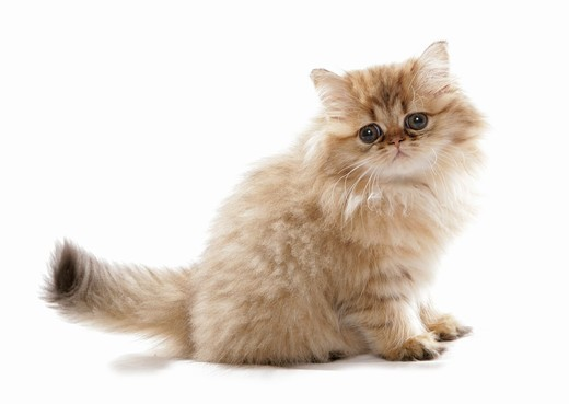Stock Photo: 4279-30809 Persian cat - kitten - cut out