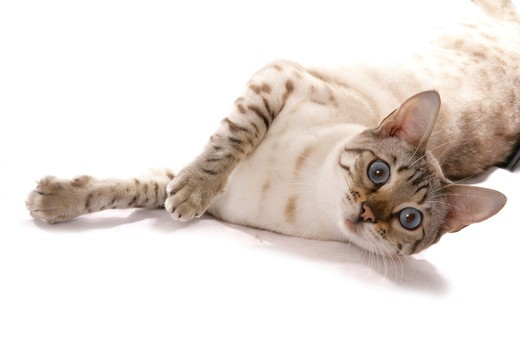 Bengal cat (snow spotted) - lying - cut out : Stock Photo