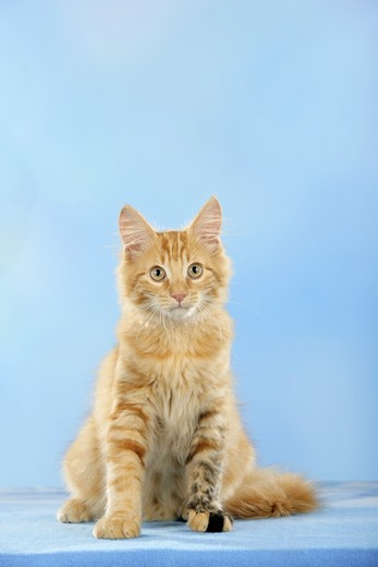 Stock Photo: 4279-30875 Maine Coon cat - sitting - cut out