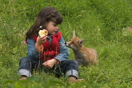 young red fox watching girl : Stock Photo
