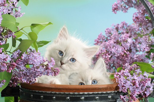 Stock Photo: 4279-30915 Neva Masquarade cat - two kittens between syringa blossoms