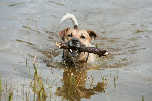 Stock Photo: 4279-30978 Jack Russell Terrier dog with stick - swimming in the water