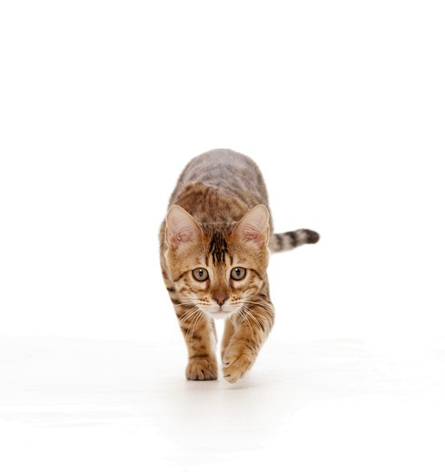 Stock Photo: 4279-31148 young Bengal cat - creeping - cut out