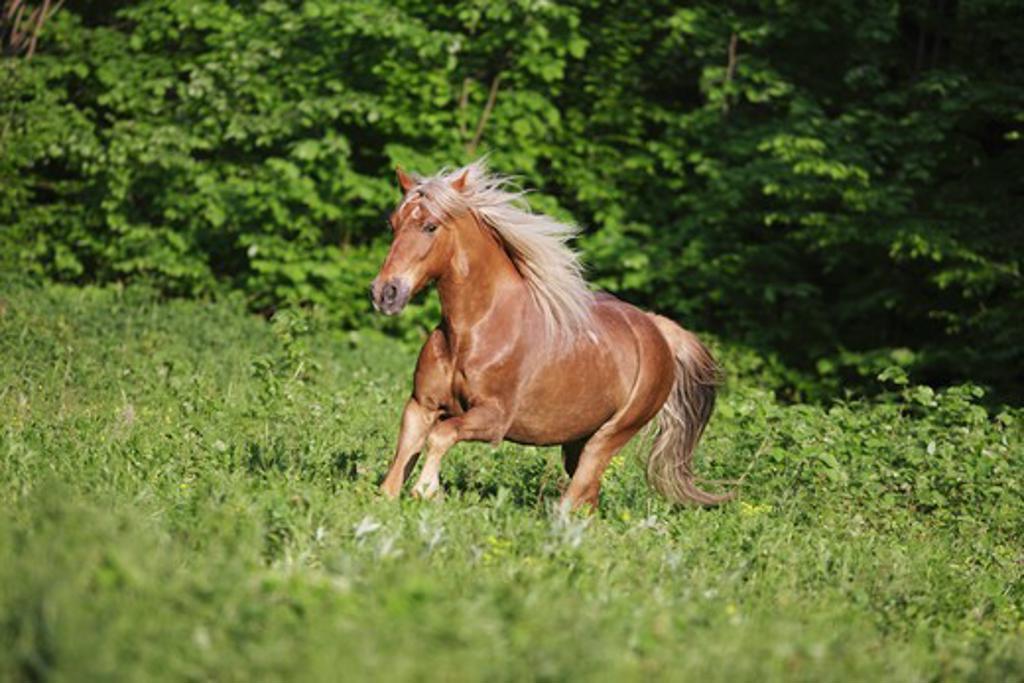 Stock Photo: 4279-31181 Cruzado horse - running through meadow