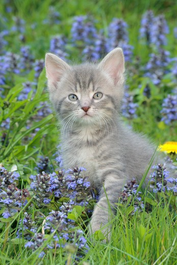 Stock Photo: 4279-31260 kitten on flower meadow