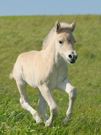 Norwegian Fjord horse - foal galloping on meadow : Stock Photo