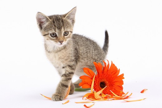 tabby kitten besides blossom - cut out : Stock Photo