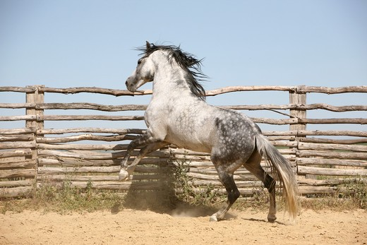 Stock Photo: 4279-31520 Pure Spanish-bred horse - jumping