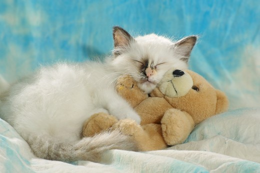 Sacred cat of Burma - kitten with teddy : Stock Photo