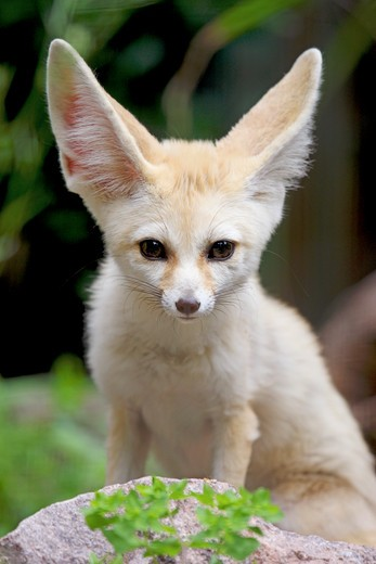 Fennec Fox, Vulpes zerda : Stock Photo