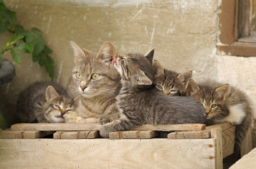 Stock Photo: 4279-31857 domestic cat and kittens
