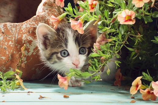 Stock Photo: 4279-31876 domestic cat - kitten lying next to flowerpot