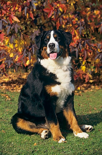 Stock Photo: 4279-32149 Bernese Mountain dog - sitting on meadow