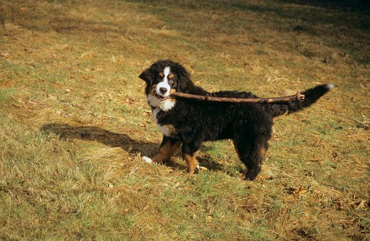 Stock Photo: 4279-32323 young Bernese Mountain dog with a stick in its mouth
