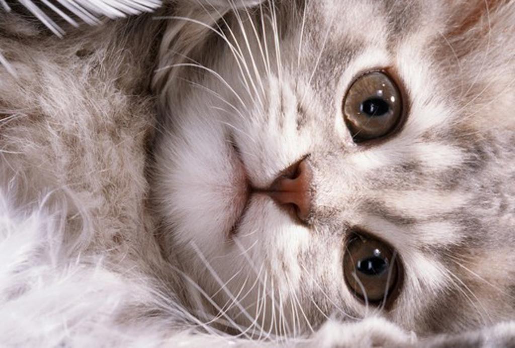 domestic kitten : Stock Photo