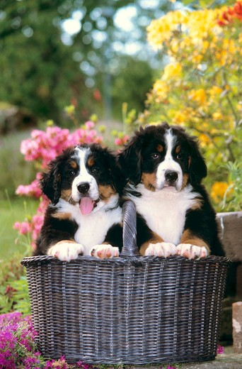 Stock Photo: 4279-32429 Bernese Mountain dog - two puppies in basket