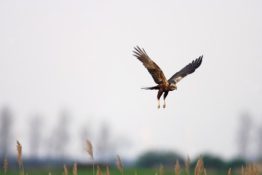 Stock Photo: 4279-32458 Western Marsh-harrier - flying, Circus aeruginosus