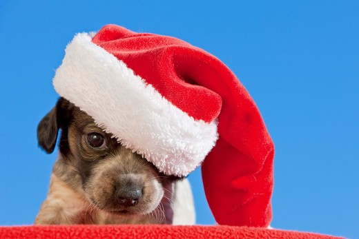 Jack Russell Terrier dog - puppy with Santa Claus cap : Stock Photo