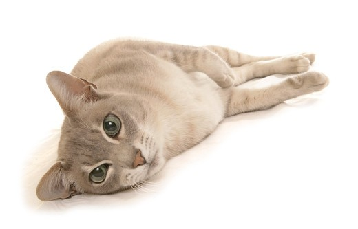 Stock Photo: 4279-32581 Tonkinese cat - lying - cut out