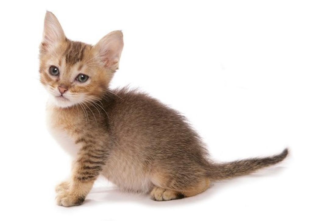 Tiffanie cat - kitten - cut out : Stock Photo