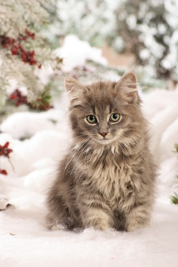 Siberian cat - kitten sitting in the snow : Stock Photo