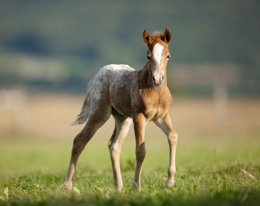 Stock Photo: 4279-32742 Knabstrup horse - foal on meadow