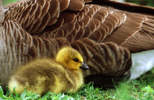 Stock Photo: 4279-3286 Canada goose duckling, Branta canadensis