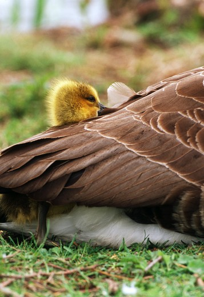 Canada goose duckling, Branta canadensis : Stock Photo