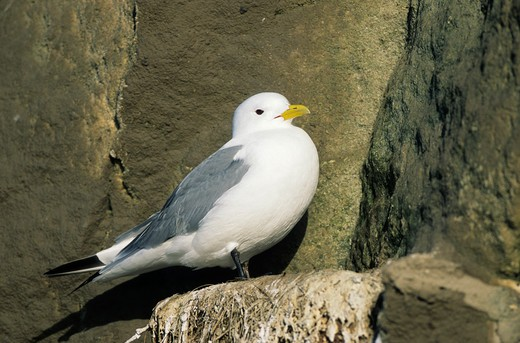 Black-legged Kittiwake, Rissa tridactyla : Stock Photo