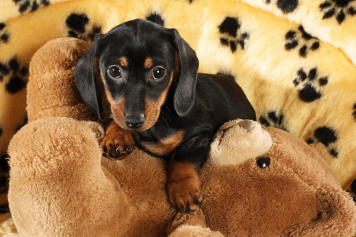 Stock Photo: 4279-33095 Miniature Dachshund dog - puppy lying on a teddybear