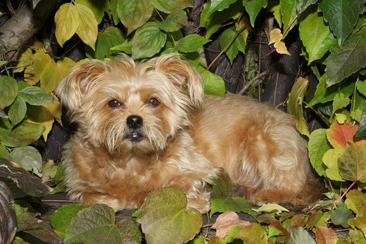 Stock Photo: 4279-33162 Half breed dog - lying in between foliage