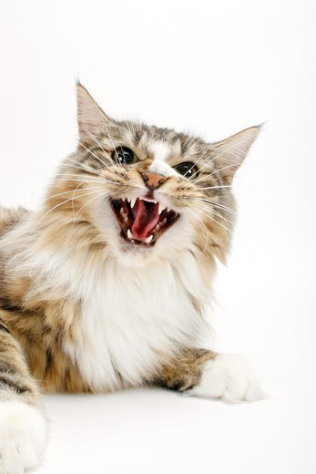 Norwegian Forest cat - lying - cut out : Stock Photo