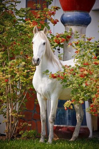 Stock Photo: 4279-33354 Pure Spanish-bred horse - standing between shrubs