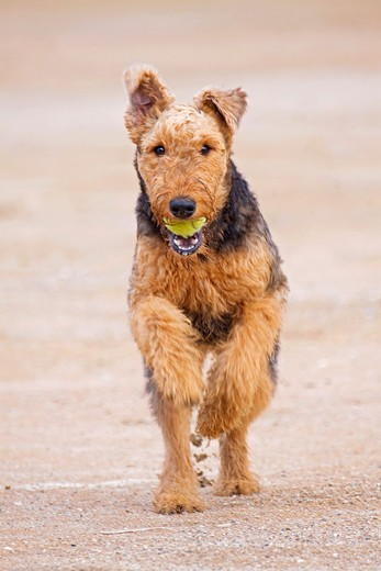 Airedale Terrier dog - running on a street : Stock Photo